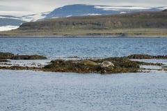 Selos que descansam em algas na península de Westfjords, ilha de Vigur Fotos de Stock