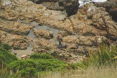 Selos que descansam em penhascos no ponto de vista do ponto da pepita em Otago, ilha sul, Nova Zelândia fotos de stock royalty free