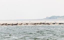 Selos que descansam em um banco de areia no Waddensea fotos de stock royalty free
