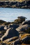 Selos que descansam na praia do Tunga de Ytri Imagem de Stock