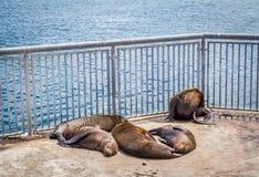 Selos que dormem no sol em um cerco Imagem de Stock
