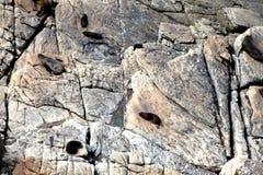 Selos que encontram-se nas rochas Fotos de Stock