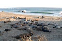 Selos que lounging na praia, Califórnia, EUA Fotos de Stock Royalty Free
