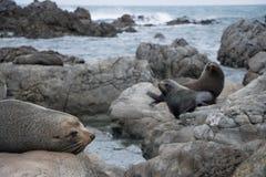 Selos que tomam sol em rochas, costa de Wainuiomata, Nova Zelândia Fotografia de Stock