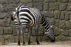Selous的斑马 库存照片