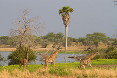 selous的长颈鹿 库存照片