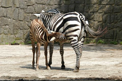Selous' zebra Royalty Free Stock Image