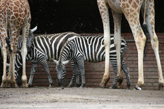 Selous' zebras and Rothschild's giraffes Stock Photography
