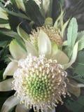 Seltene australische gebürtige weiße Waratah-Blume 1 Stockfotografie