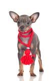 Seltene Farbe des russischen Spielzeughundewelpen Lizenzfreie Stockbilder