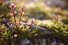 Seltene Gebirgsblumen und -anlagen, die auf der Steigung des Kaukasus, sonnige Dämmerung wachsen Kleine schöne wilde Blumen wachs lizenzfreies stockfoto