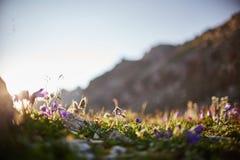 Seltene Gebirgsblumen und -anlagen, die auf der Steigung des Kaukasus, sonnige Dämmerung wachsen Kleine schöne wilde Blumen wachs stockbild