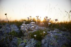 Seltene Gebirgsblumen und -anlagen, die auf der Steigung des Kaukasus, sonnige Dämmerung wachsen Kleine schöne wilde Blumen wachs stockfoto
