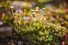Seltene Gebirgsblumen und -anlagen, die auf der Steigung des Kaukasus, sonnige Dämmerung wachsen Kleine schöne wilde Blumen wachs lizenzfreie stockbilder