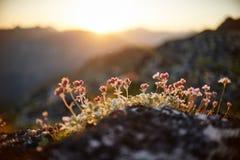 Seltene Gebirgsblumen und -anlagen, die auf der Steigung des Kaukasus, sonnige Dämmerung wachsen Kleine schöne wilde Blumen wachs stockfotos