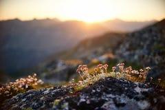 Seltene Gebirgsblumen und -anlagen, die auf der Steigung des Kaukasus, sonnige Dämmerung wachsen Kleine schöne wilde Blumen wachs stockbilder