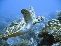 Seltene grünes Seeschildkröte Stockfotografie