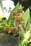 Seltene Orchideen - botanische Gärten Singapurs Lizenzfreie Stockfotografie