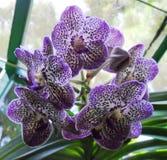 Seltene Orchideen - botanische Gärten Singapurs Lizenzfreie Stockfotos