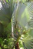 Seltene Palme - botanische Gärten Singapurs Lizenzfreie Stockbilder