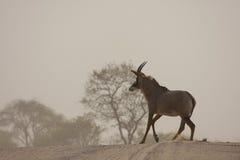 Seltene Roan Antilope lizenzfreie stockfotografie
