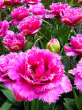 Seltene rosa Tulpe in Keukenhof Stockbilder