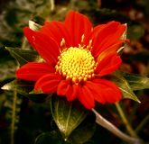 Seltene rote Sommerblume lizenzfreie stockfotografie