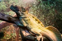 Seltene Spezies des Leguans lizenzfreies stockfoto