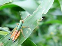 Seltene tropische Heuschrecke Lizenzfreies Stockfoto
