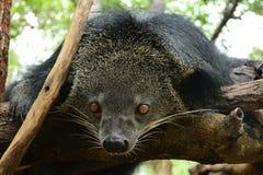 Seltene wilde Tiere Bärn-Katze Stockfotografie