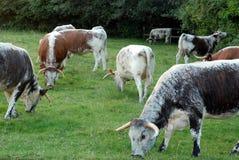 Seltene Zucht-Englisch-Longhorn-Kühe Stockbild