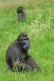 Seltener Affe mit Haube Lizenzfreies Stockbild