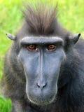 Seltener Affe mit Haube Stockfotos