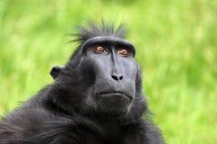 Seltener Affe mit Haube Stockfotografie