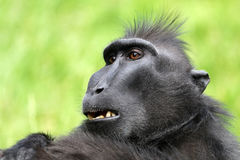 Seltener Affe mit Haube Stockbilder