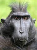 Seltener Affe mit Haube Stockfoto
