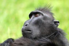 Seltener Affe mit Haube Lizenzfreie Stockfotografie
