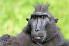 Seltener Affe mit Haube Lizenzfreie Stockbilder