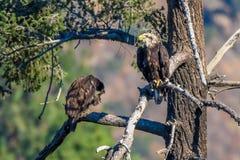 Seltener Anvisieren-Weißkopfseeadler in Süd-Kalifornien-Reihe 11 Lizenzfreie Stockfotografie