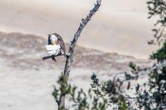 Seltener Anvisieren-Weißkopfseeadler in Süd-Kalifornien-Reihe 10 Lizenzfreie Stockfotografie