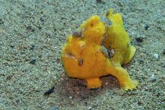 Seltener Babygelb Frogfish weg von der Feldgeistlichen Burgos, Leyte, Philippinen Lizenzfreies Stockfoto