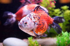 Seltener Goldfish Lizenzfreie Stockbilder