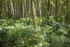 Seltener natürlicher Eichenwald mit Adlerfarnfarn im Unterholz Lizenzfreie Stockfotos