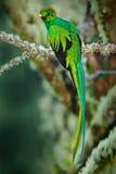 Seltener tropischer Vogel vom Gebirgswolken-Waldquetzal, Pharomachrus-mocinno, ausgezeichneter heiliger grüner Vogel mit sehr lo Lizenzfreie Stockfotografie