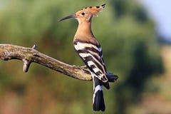 Seltener Vogel mit einem Knall auf dem Kopf Lizenzfreies Stockfoto