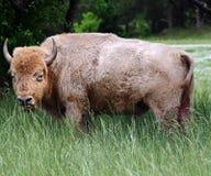 Seltener weißer Büffel Stockbilder