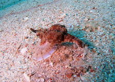 Seltenes Rotes Meer Seamoth Pegasidae lizenzfreie stockfotos