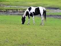 Seltenes schauendes Schwarzweiss-Farbenpferd auf einem Gebiet lizenzfreie stockbilder