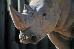 Seltenes weißes Nashorn Stockfotos