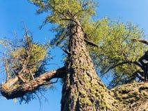 Seltsame Form des Lärchenbaums und seiner Barke stockbild